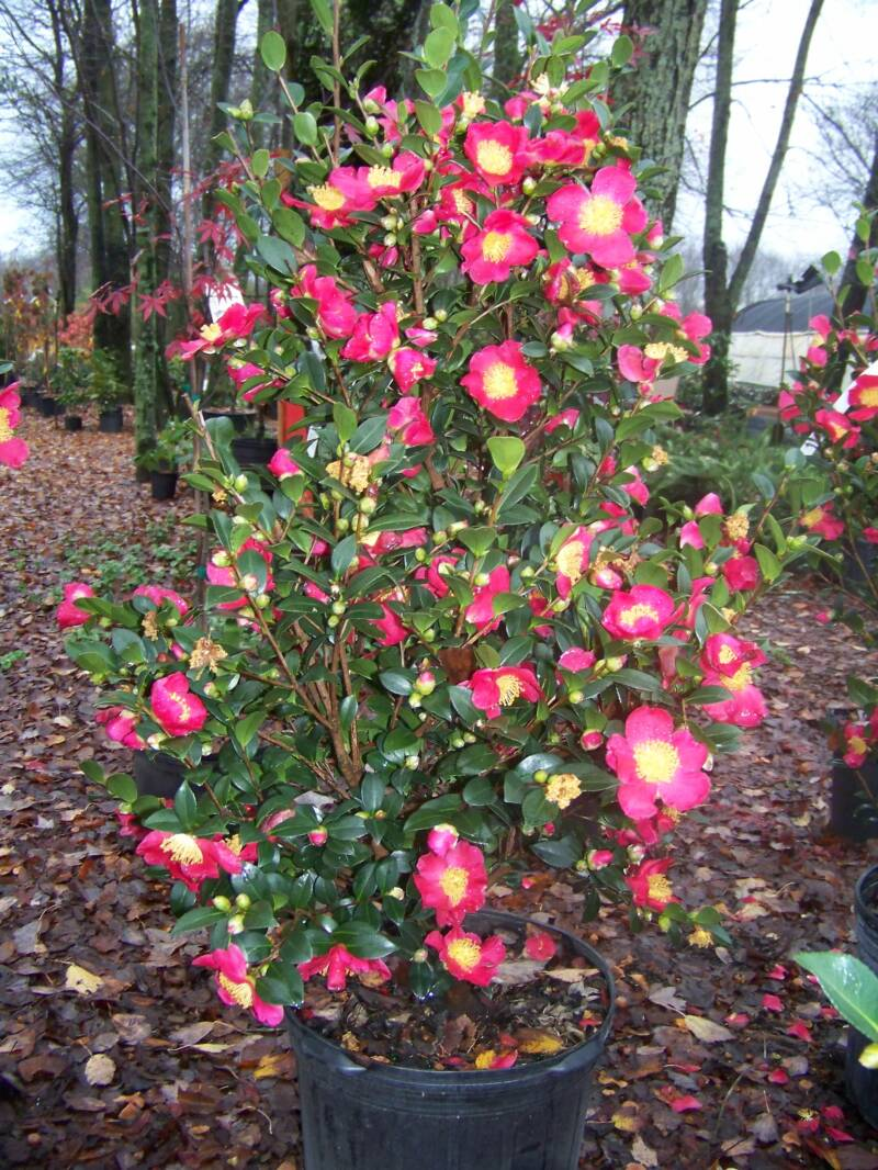 Shrubs for Camelia sasanqua