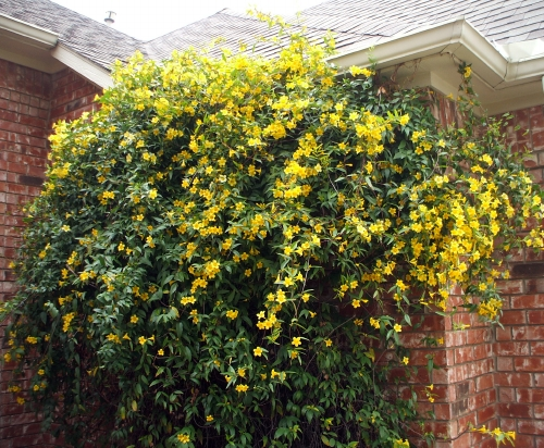 Vines this is an image of a carolina jessamine mightylinksfo